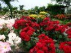 roseherbgarden1